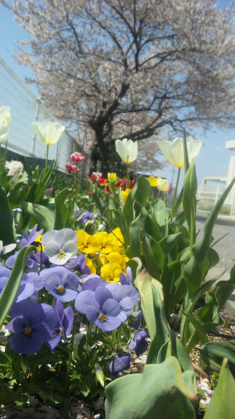 春の市の桜